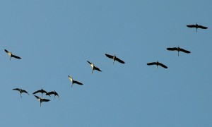 Zug der Vögel in den Süden