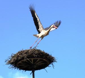 Weißstorch beim Abflug vom Storchennest